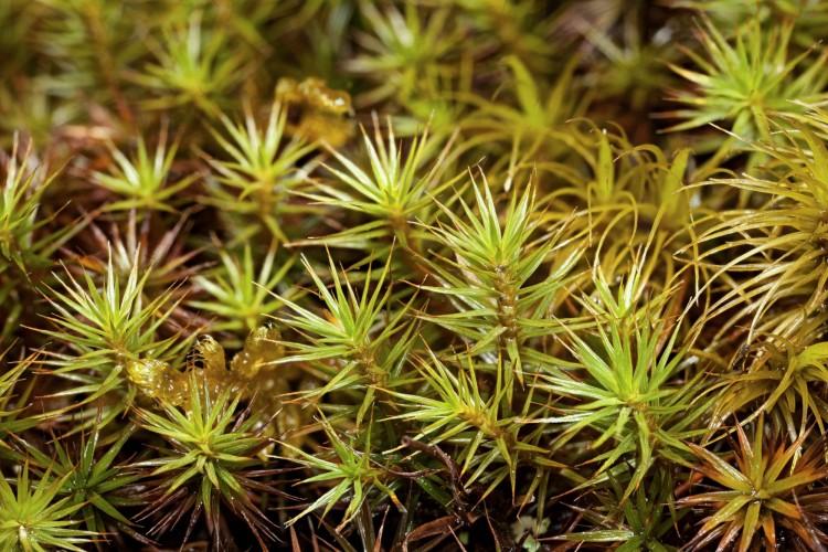 Polytrichum Juniperinum  Juniper Polytrichum Moss