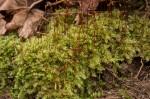 Rhynchostegium serrulatum