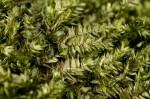 Taxiphyllum taxirameum