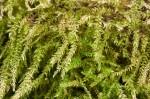 Bryhnia graminicolor