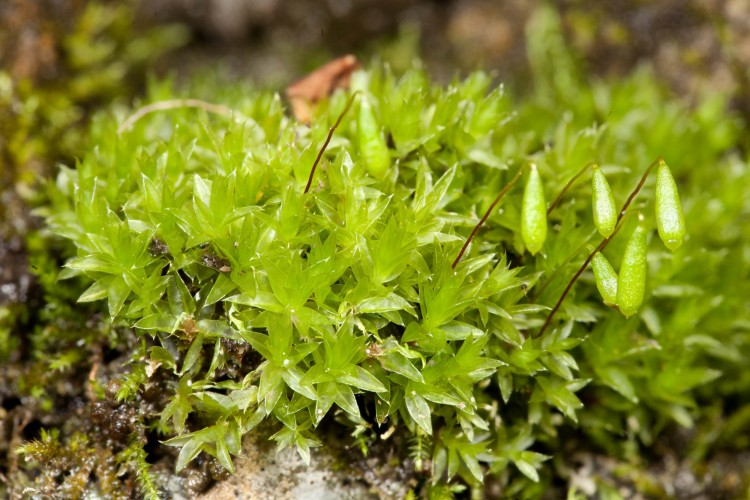 Bryum caespiticium at Greenville Falls State Naure Preserve, Miami County, Ohio. May 4, 2014.