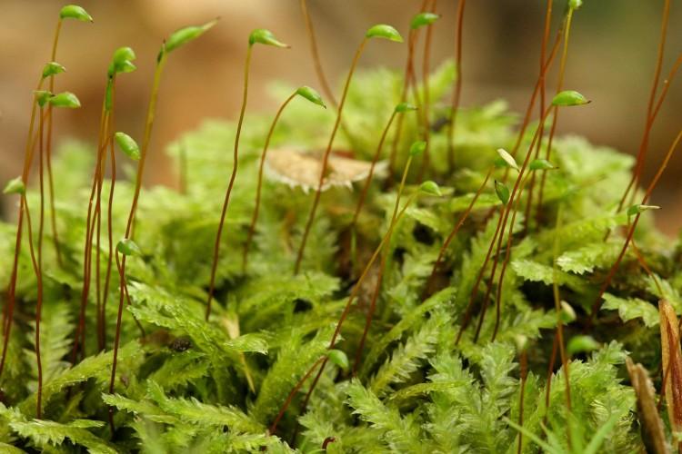 Plagiothecium denticulatum phoyo by Bob Klips
