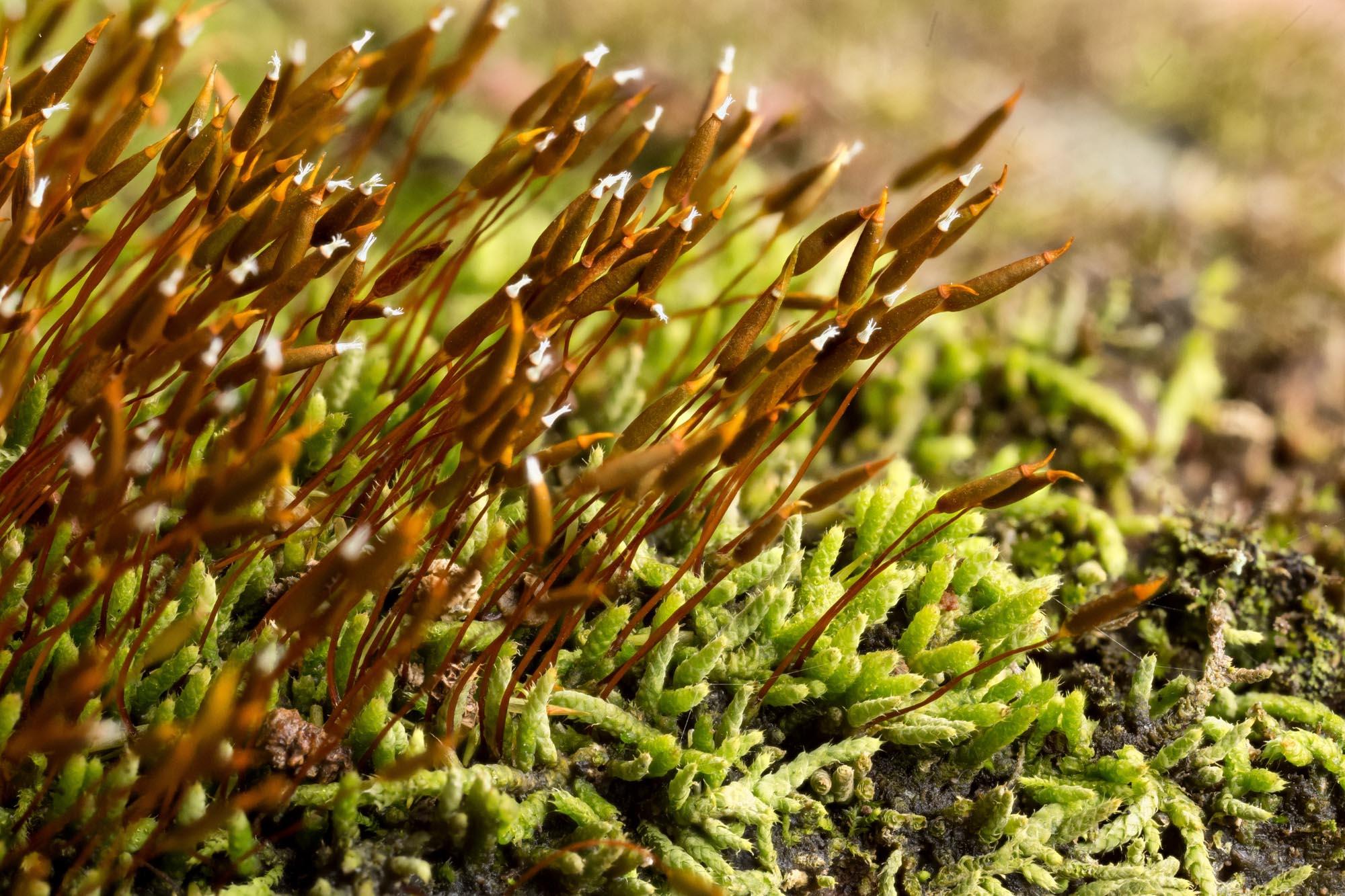 Thelia asprella-OMLA-Adams-2014
