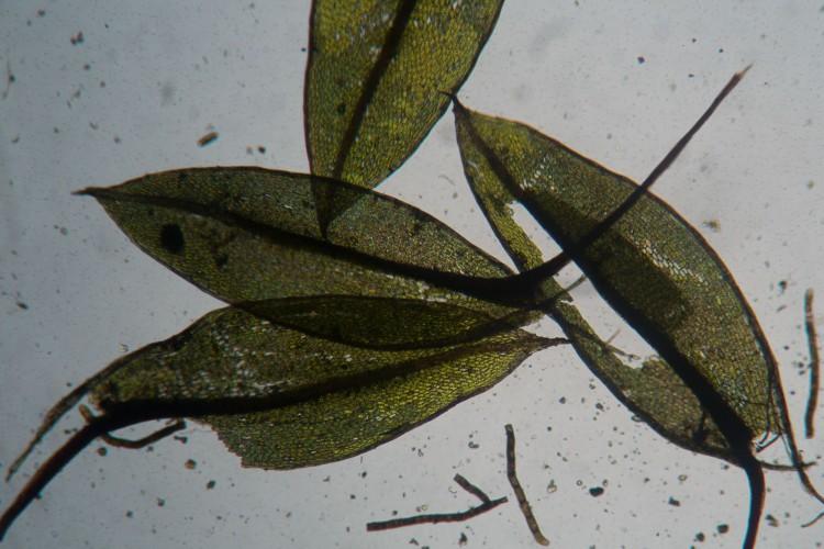 Bryum pseudotriquetrum