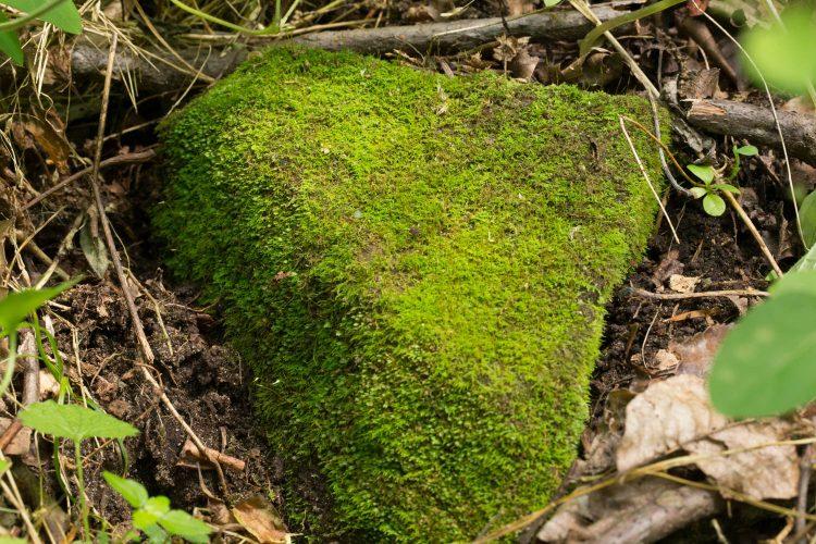 Cyrto-hypnum pygmaeum-11