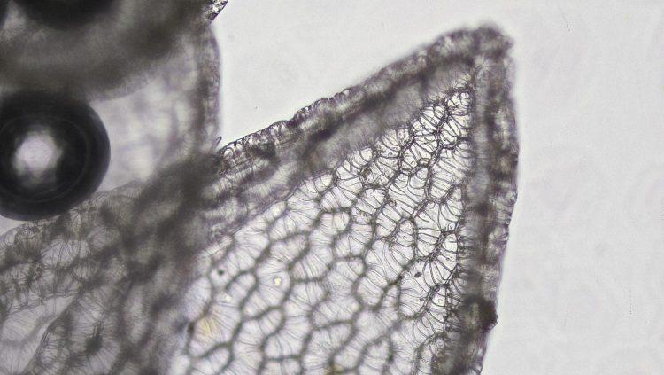 Sphagnum palustre-6