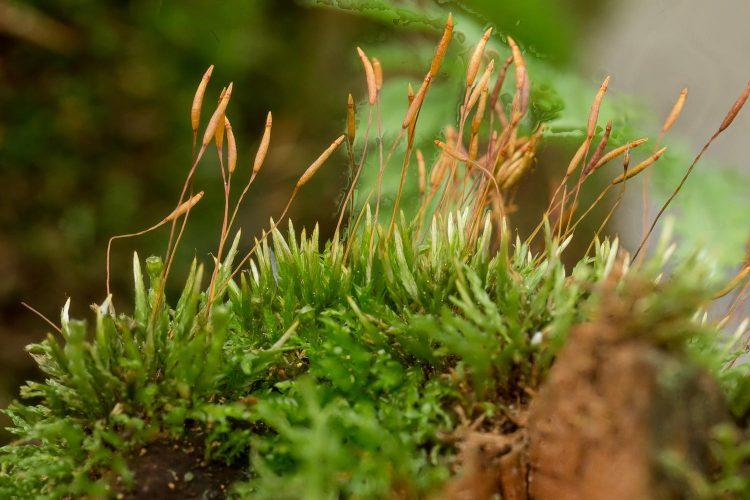 Tetraphis pellucida grows on stumps in woods.