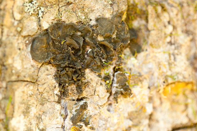 gelatinous lichen