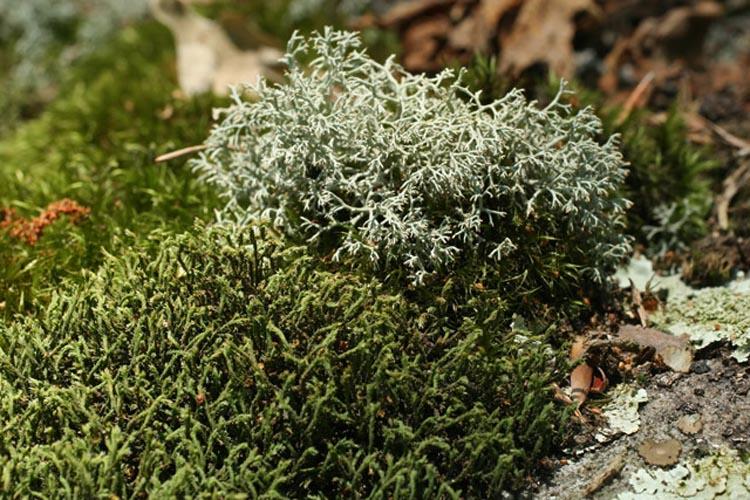 Hedwigia ciliata and Cladonia subtenuis