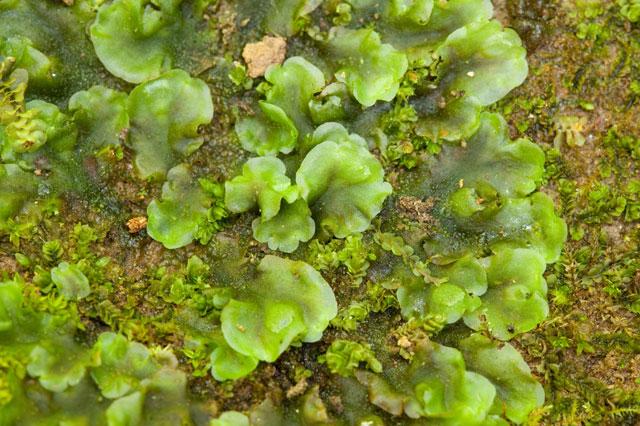 thallose liverwort