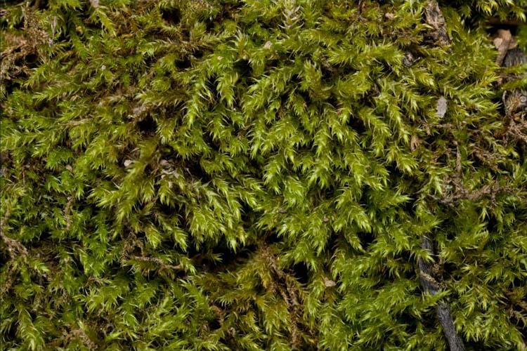 Campylium-chrysophylum