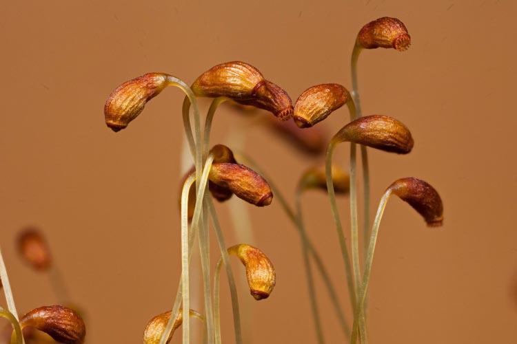 Funaria hygrometrica sporophytes