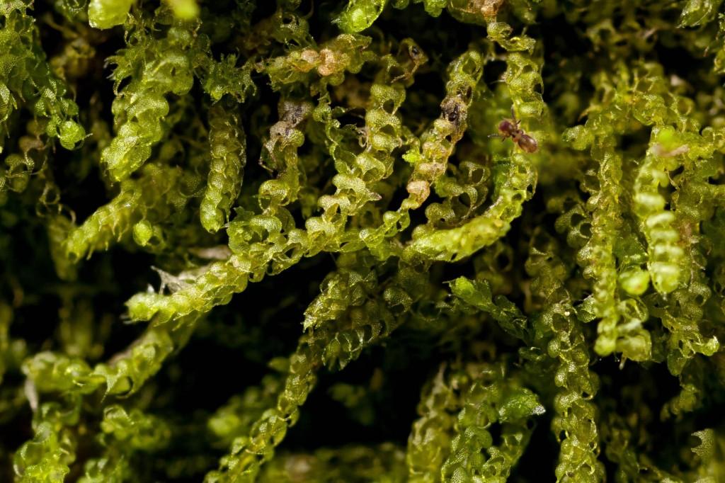 Nowelia curvifolia
