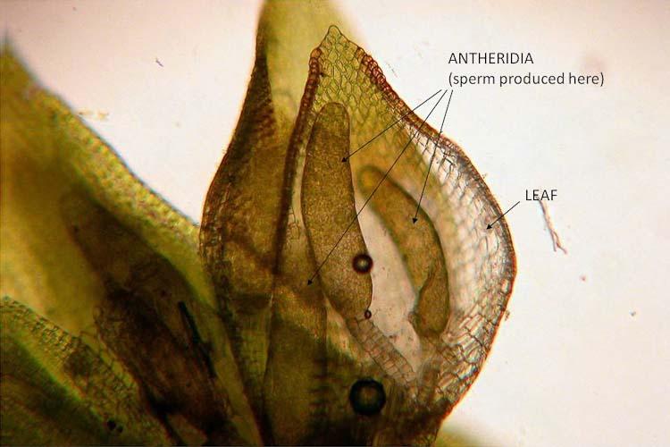 aaabryology1plants Ohio Moss