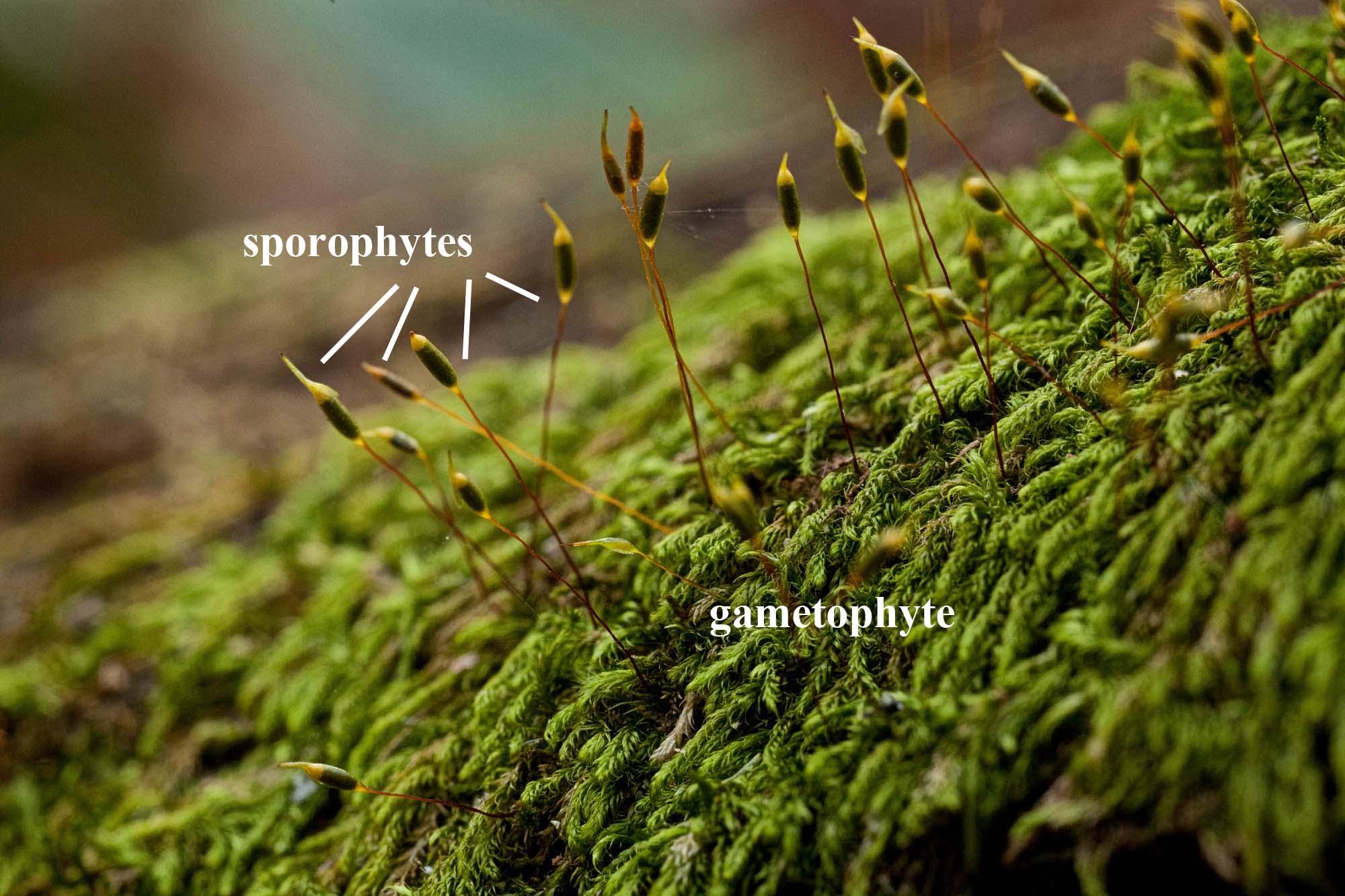 Pylaisiadelpha tenuirostris labels