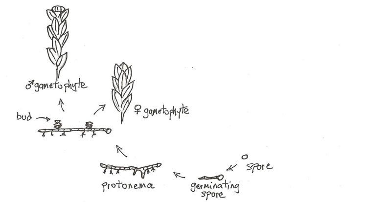 gametophytes