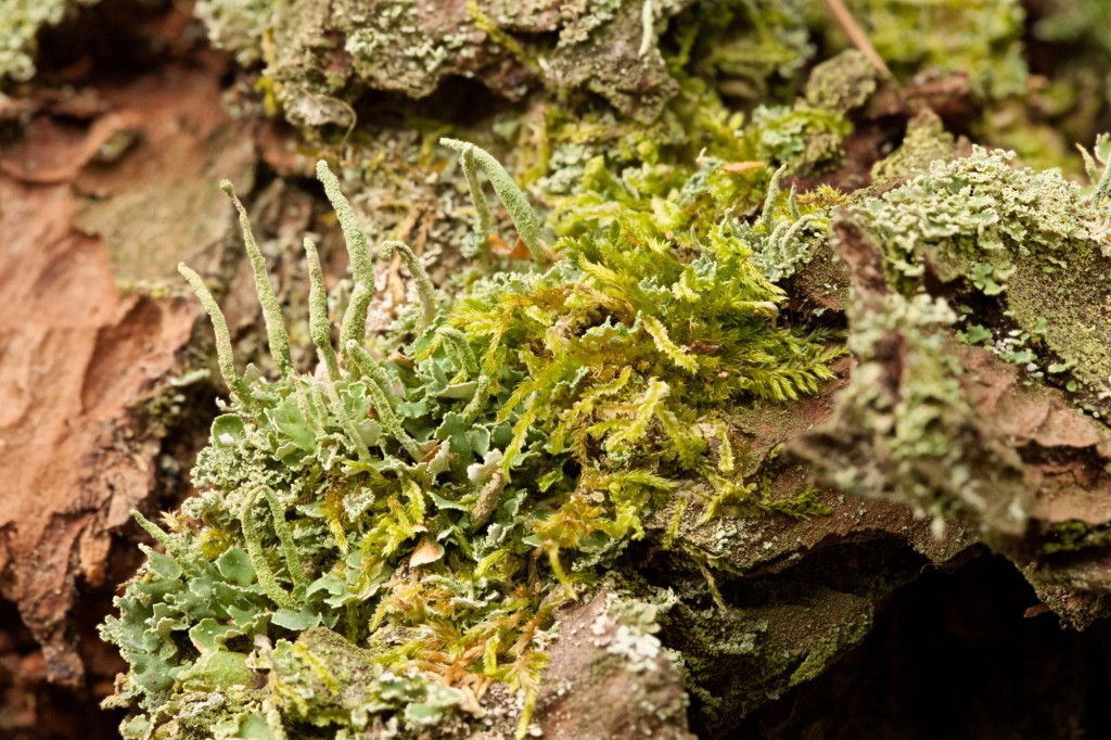 Fruticose lichen at the base of a tree.