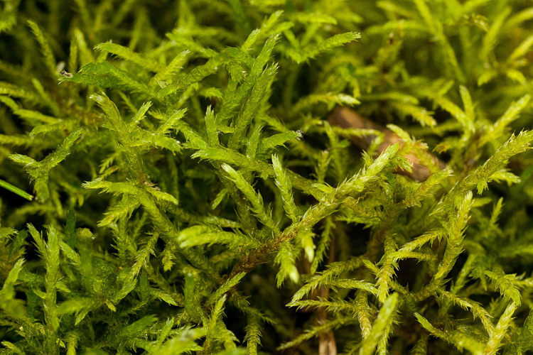 An erect pleurocarp that grows in tufts in wet calcareous soil.