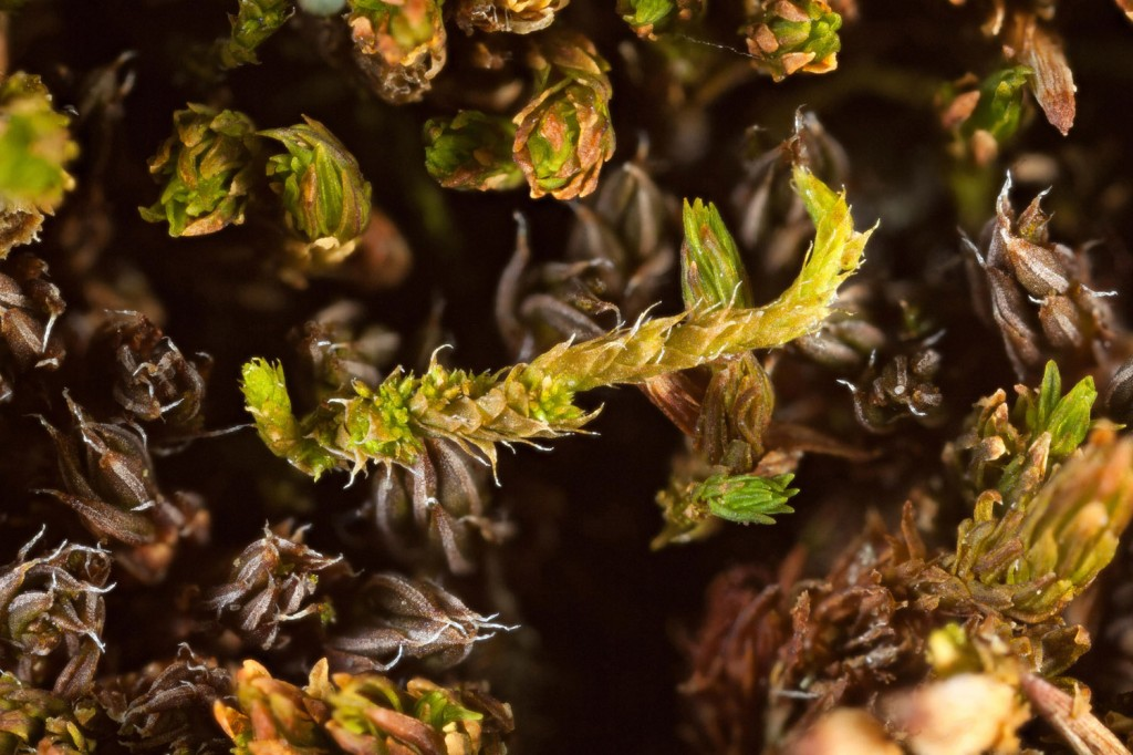 Papillose pleurocarp that occurs as small strands mixed with other mosses.