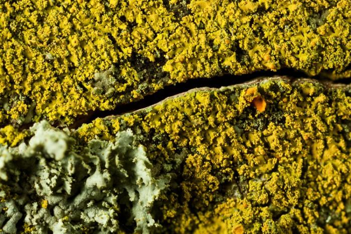 Candelaria concolor photo by Bob Klips