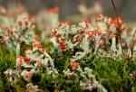 Cladonia cristatella