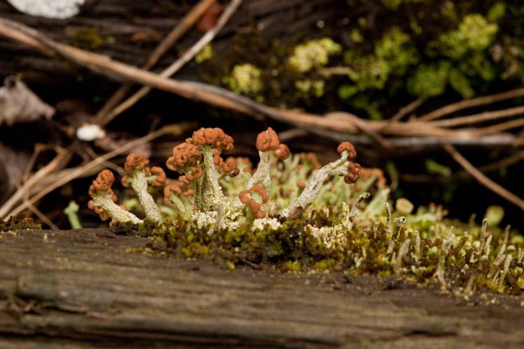 Cladonia pezizaformis