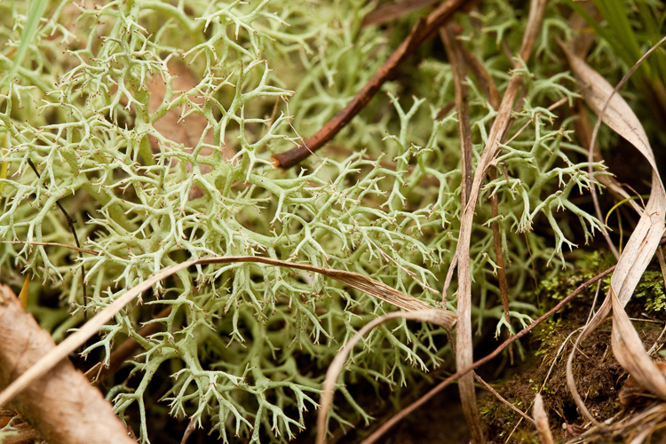 Cladonia subtenuis photo by Bob Klips