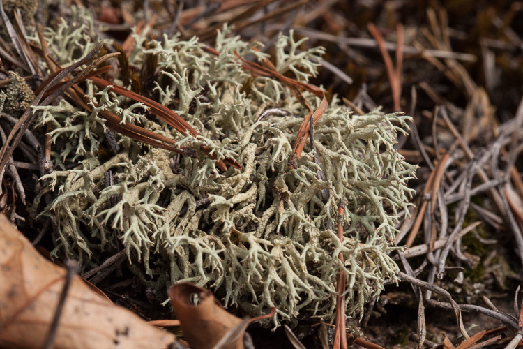 Cladonia uncialis photo by Bob Klips