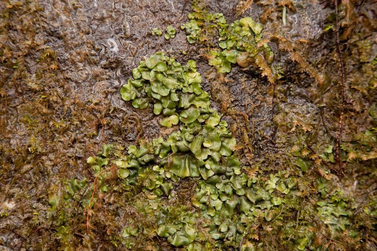 Dermatocarpon luridum substrate