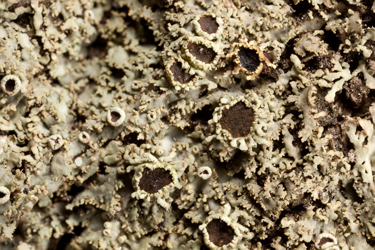 Heterodermia hypoleuca apothecia