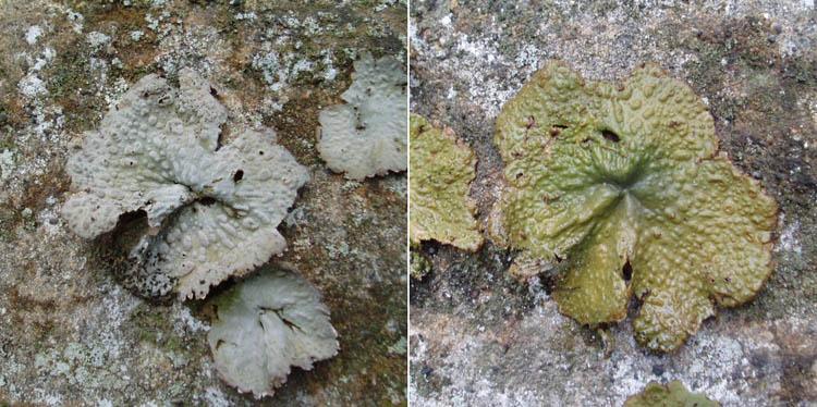 Lasallia papillosa wet and dry