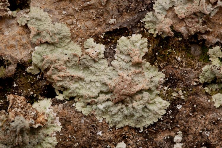 Lepraria species
