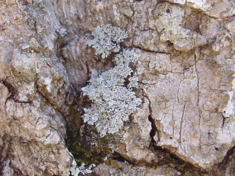 Physcia millegrana
