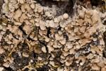 Placidium arboreum