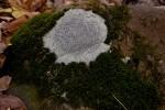 Porpidia albocaerulescens