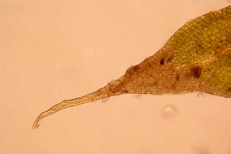 Anomodon rostratus leaf