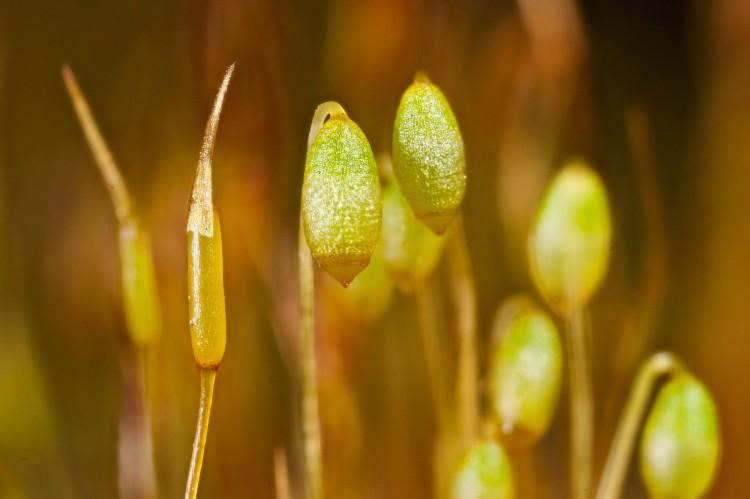 Barbula unguiculata photo by Bob Klips
