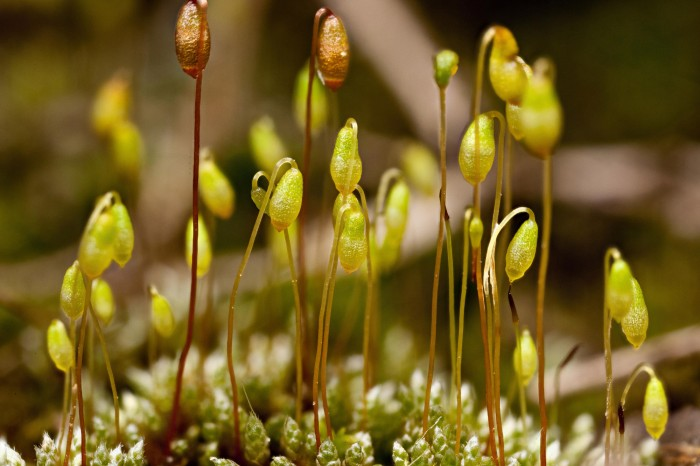 Bryum argenteum photo by Bob Klips