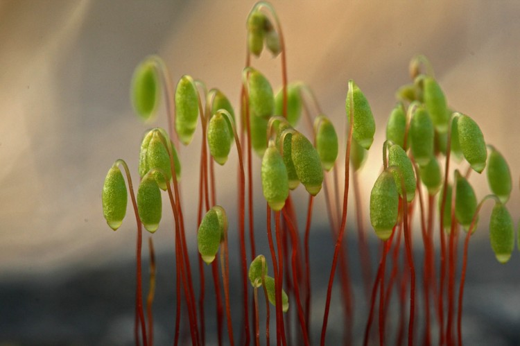 Bryum lisae photo by Bob Klips
