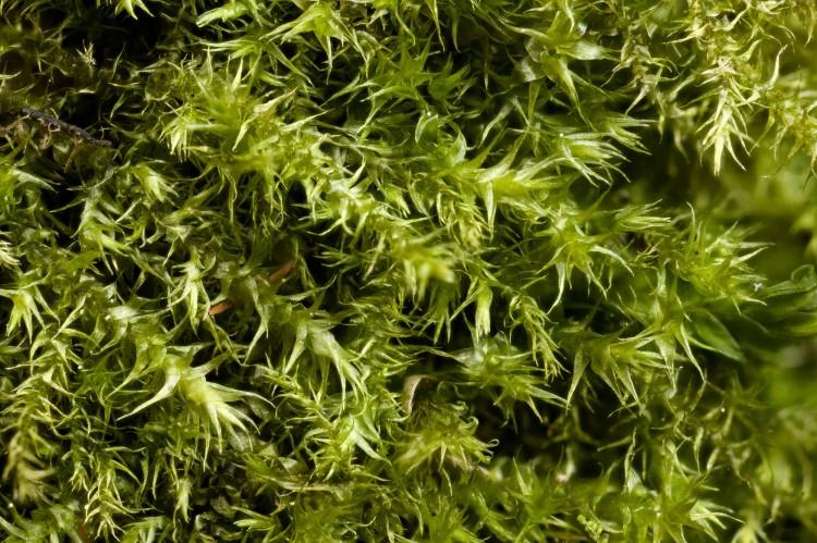 Campylium chrysophyllum phop by Bob Klips