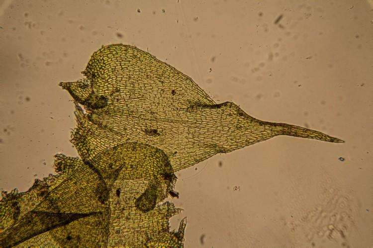 Campylium chrysophyllum photo by Bob Klips