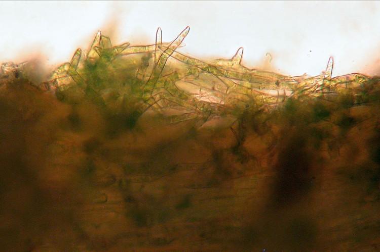 Climacium americanum paraphyllia.
