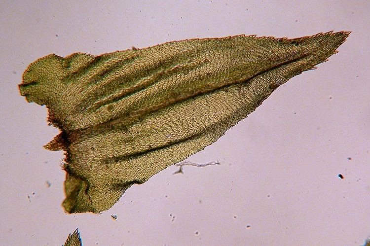 Climacium americanum leaf.