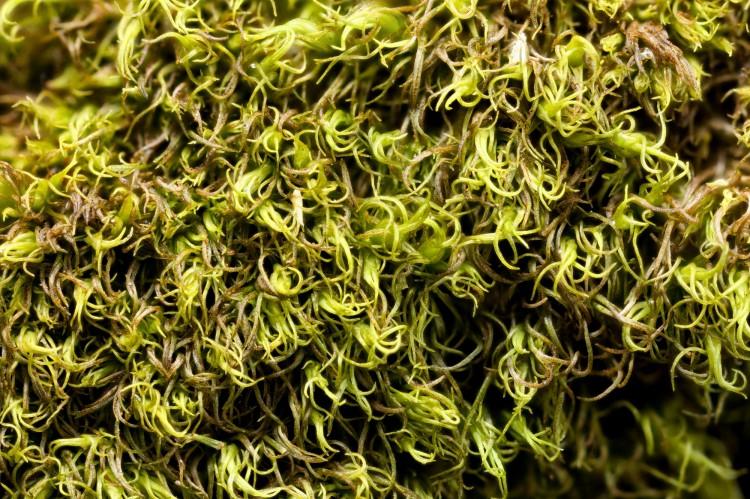 Dicranum montanum photo by Bob Klips