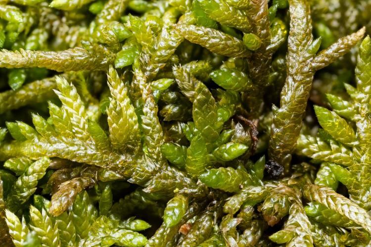 Moss Entodon Seductrix Ohio Moss And Lichen Association