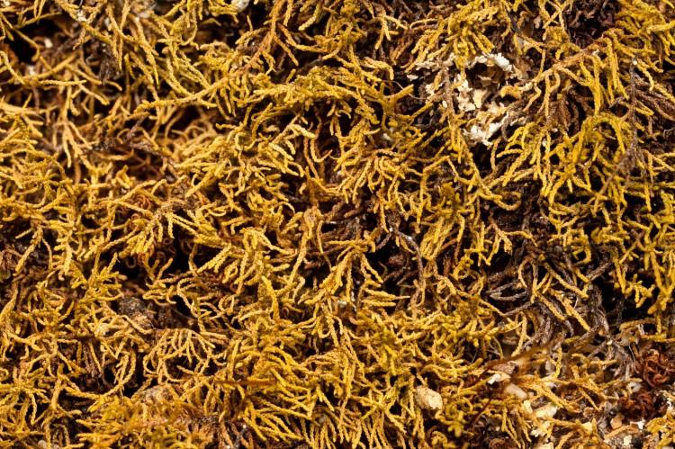 Haplocladium virginianum at Blackhand Gorge State Nature Preserve, Licking County, Ohio.