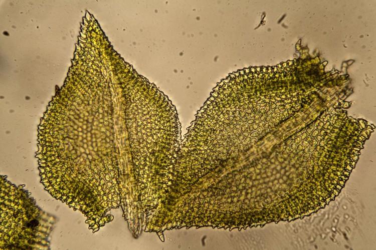 Haplocladium virginianum photo by Bob Klips