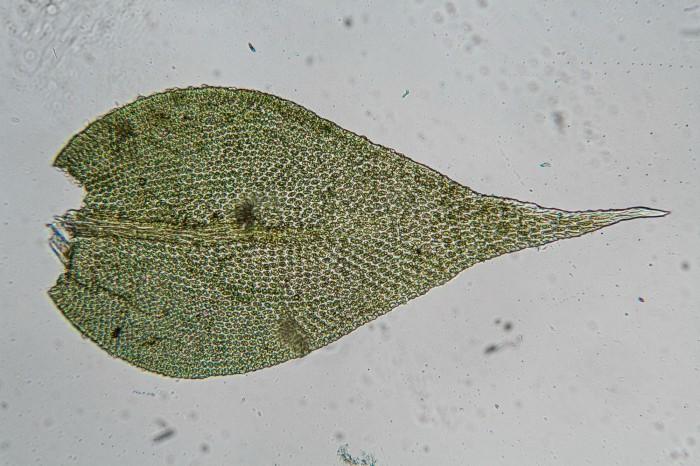 Lindbergia brachyptera photo by Bob Klips