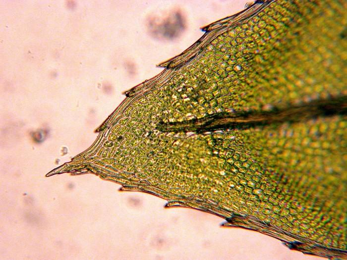 Mnium hornum leaf tip