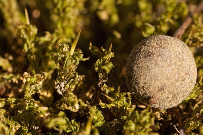 Plagiomnium cuspidatum photo by Bob Klips